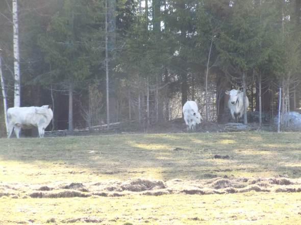 Nyliden kor i skog